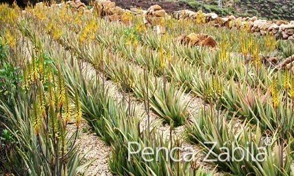 Cultivo de penca zabila, aloe vera canario