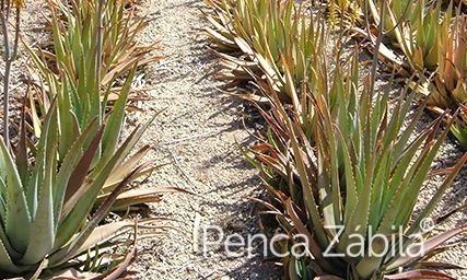 aloe-vera-anbau-kanarische-pflanzen