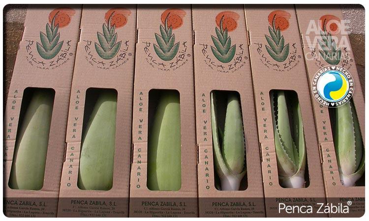 Canary Aloe vera Plants PZ