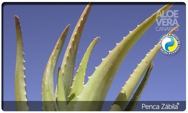 Aloe Ecological Plant