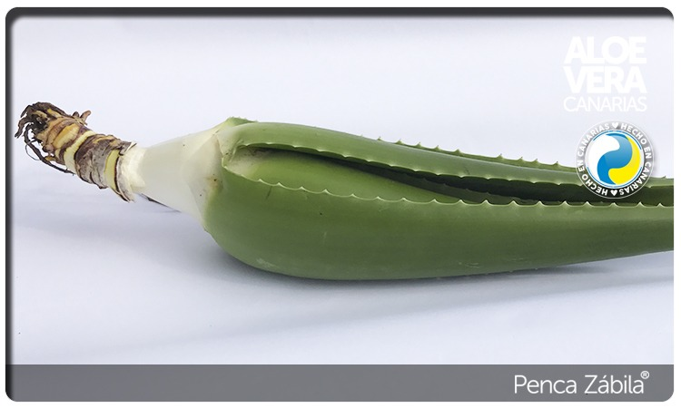 Aloe Vera Alive Plant